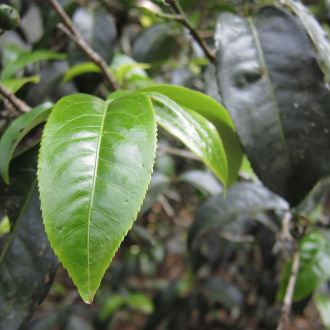Zhaozhou_puer_tea_leaves_yunnan_china