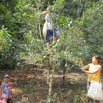Zhaozhou_ancient_puer_tea_forest_picking9