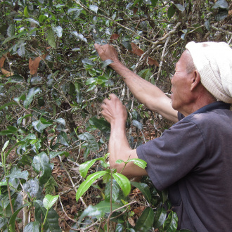Zhaozhou_ancient_puer_tea_picking3