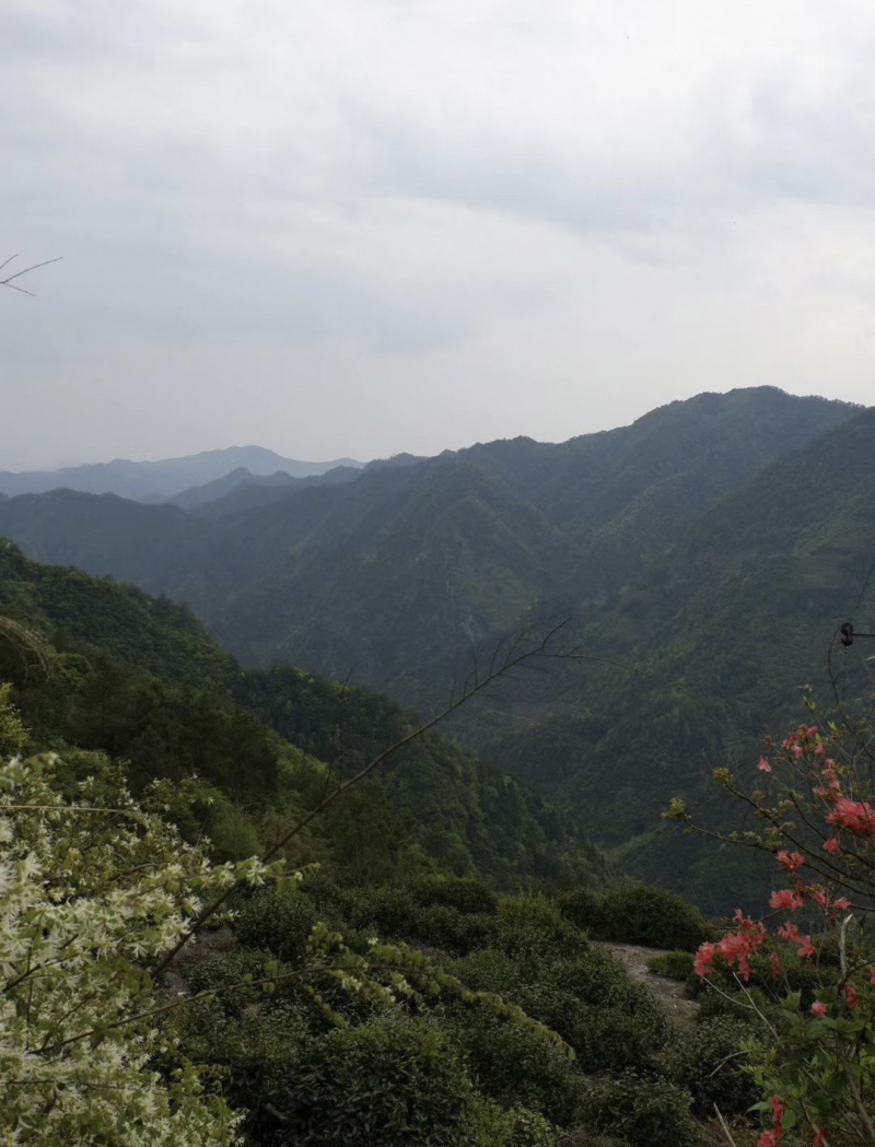 Long Jing High Mountain Dragon Well 2021 No.345/s